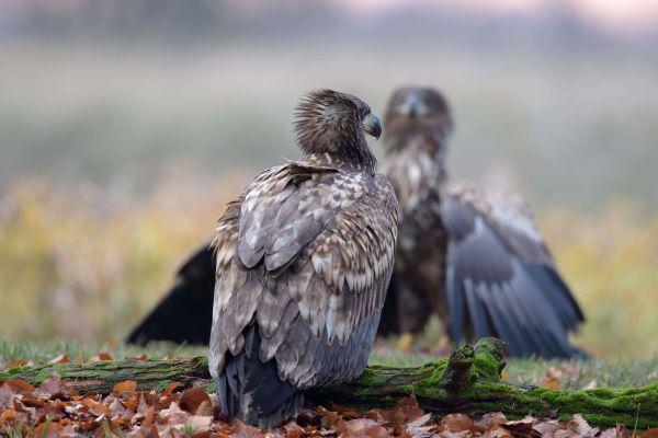 Bielik (Haliaeetus albicilla) Nr zdjęcia: 0196