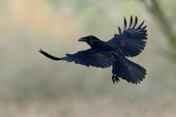 Kruk (Corvuscorax) Nr zdjęcia: 0294