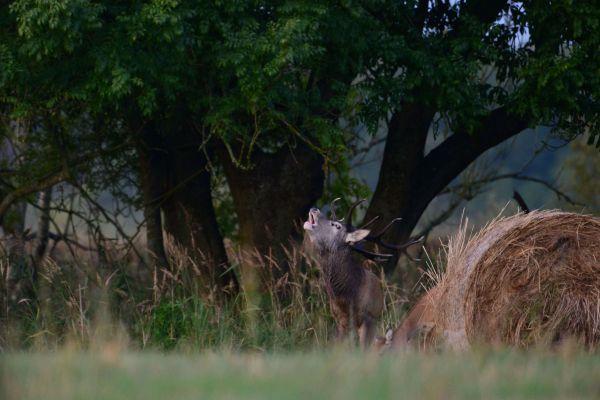 Jeleń szlachetny (Cervuselaphus) Nr zdjęcia: 0575