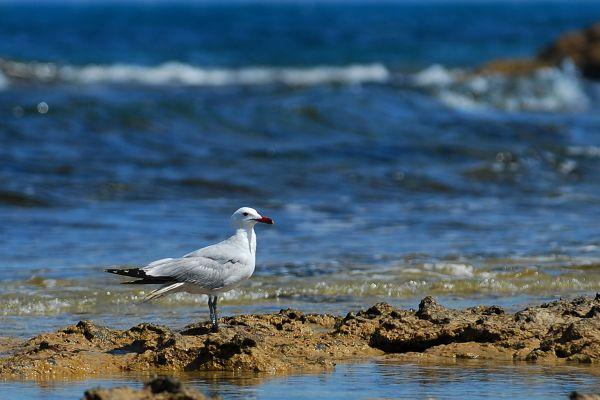 Mewa śródziemnomorska (larus audouinii) Nr zdjęcia: 0763