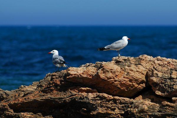 Mewa śródziemnomorska (larus audouinii) Nr zdjęcia: 0764