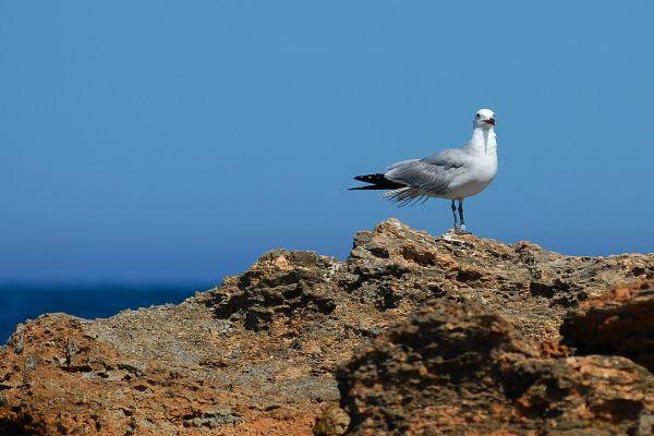 Mewa śródziemnomorska (larus audouinii) Nr zdjęcia: 0767