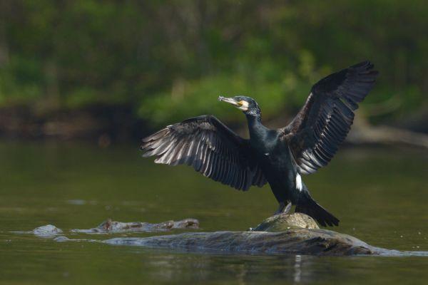 Kormoran (Phalacrocorax carbo) Nr zdjęcia: 0956