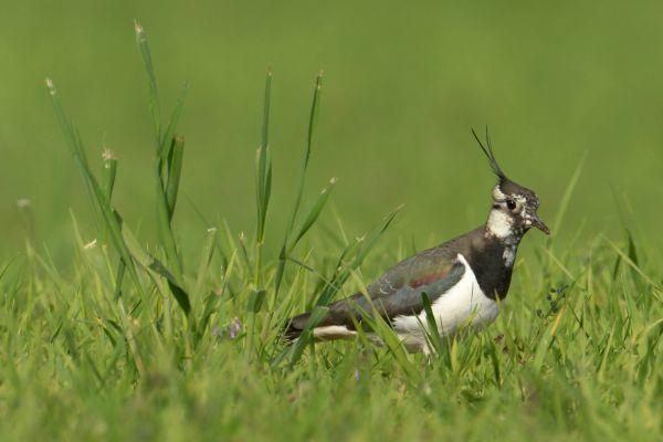 Czajka (Vanellus vanellus) Nr zdjęcia: 1505