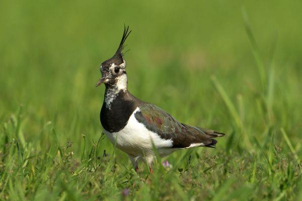 Czajka (Vanellus vanellus) Nr zdjęcia: 1557