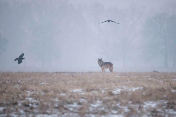 Wilk szary (Canis lupus) Nr zdjęcia: DSC_1573t2