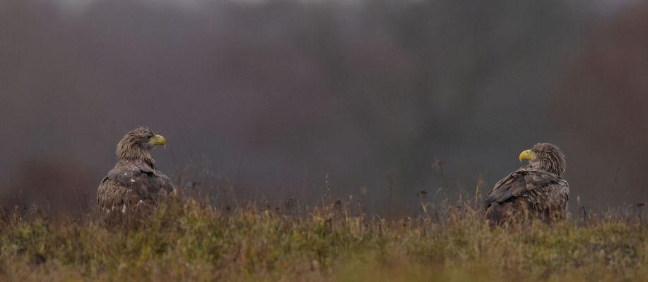 Bielik (Haliaeetus albicilla) Nr zdjęcia: 2076