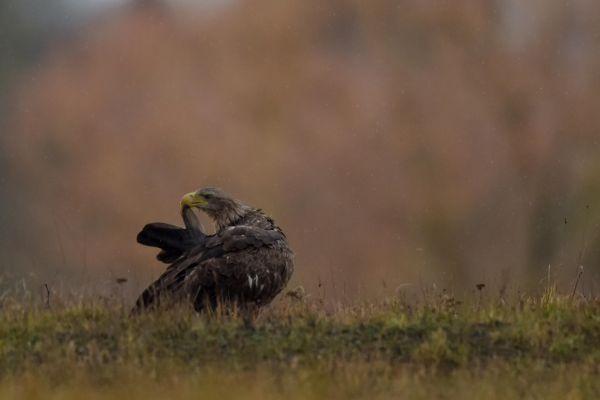 Bielik (Haliaeetus albicilla) Nr zdjęcia: 2137