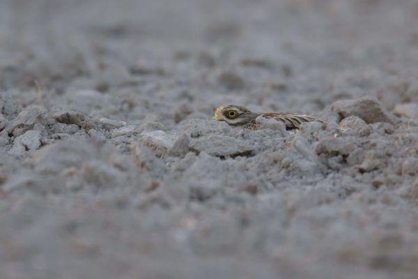Kulon (Burhinus oedicnemus) Nr zdjęcia: 2520