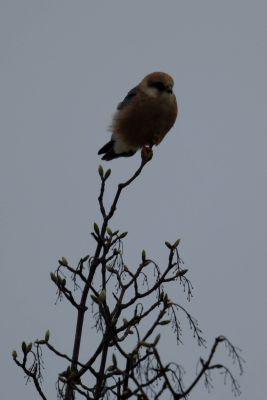 Kobczyk (Falco vespertinus) Nr zdjęcia: 2629