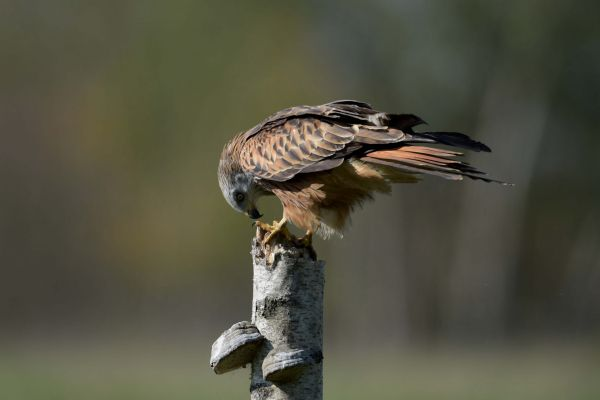 Kania ruda (Milvus milvus) Nr zdjęcia: 4262
