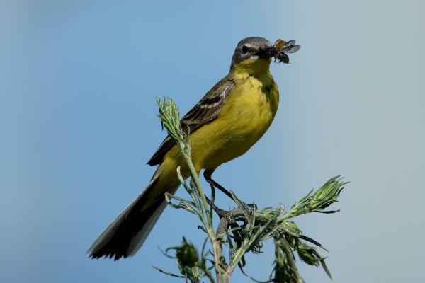 Pliszka żółta (Motacilla flava) Nr zdjęcia: 4330