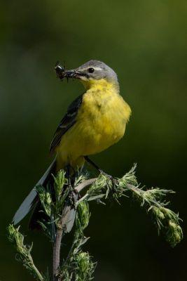 Pliszka żółta (Motacilla flava) Nr zdjęcia: 4343
