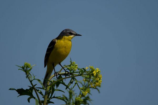Pliszka żółta (Motacilla flava) Nr zdjęcia:4744