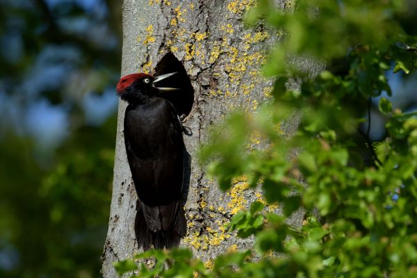 Dzięcioł czarny (Dryocopus martius) Nr zdjęcia:5115