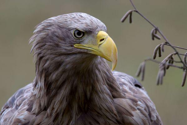 Bielik (Haliaeetus albicilla) Nr zdjęcia: 5292