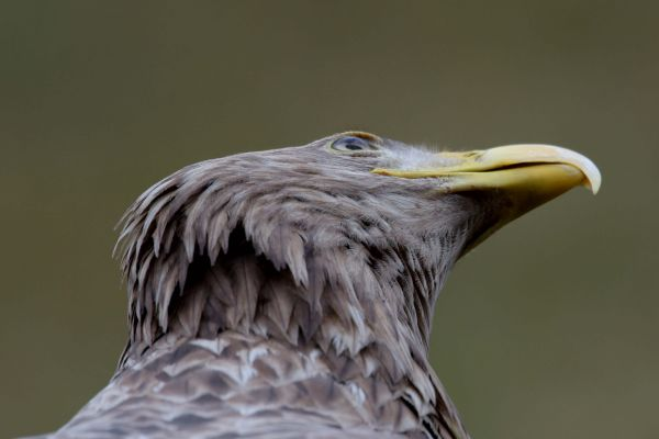 Bielik (Haliaeetus albicilla) Nr zdjęcia: 5301