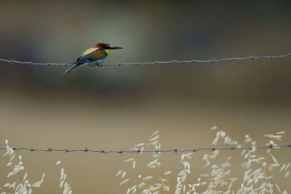 Żołna (Merops apiaster) Nr zdjęcia: 5347
