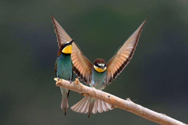 Żołna (Merops apiaster) Nr zdjęcia: 5795
