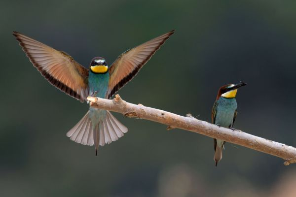 Żołna (Merops apiaster) Nr zdjęcia: 5855