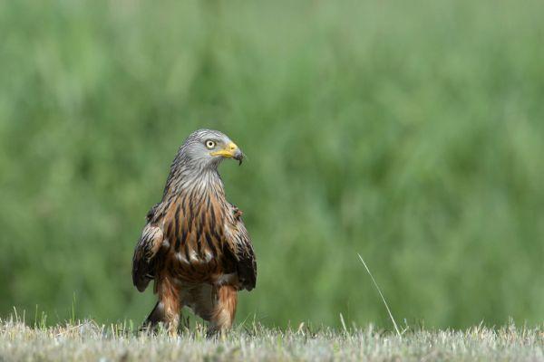 Kania ruda (Milvus milvus) Nr zdjęcia: 5925