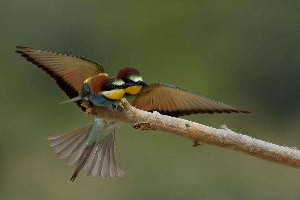 Żołna (Merops apiaster) Nr zdjęcia: 5955