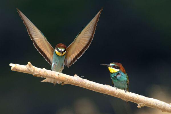 Żołna (Merops apiaster) Nr zdjęcia: 6022