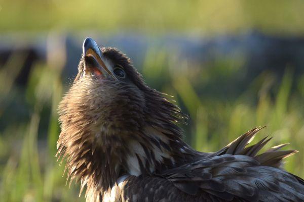 Bielik (Haliaeetus albicilla) Nr zdjęcia: 6369