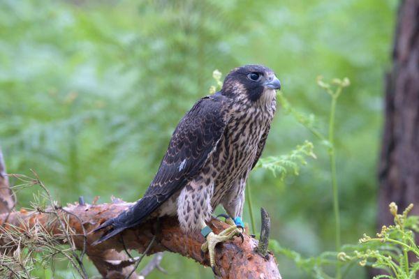 Sokół wędrowny (Falco peregrinus) Nr zdjęcia: 6571