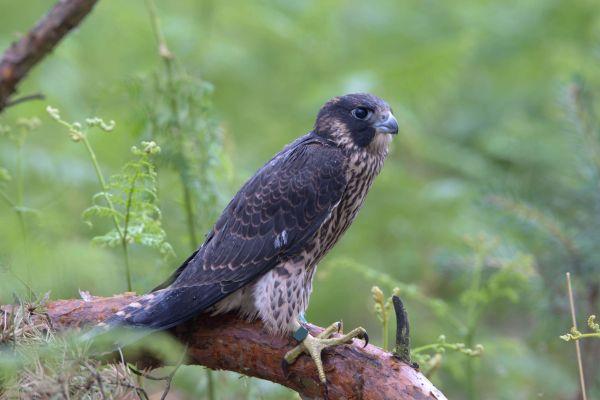 Sokół wędrowny (Falco peregrinus) Nr zdjęcia: 6582