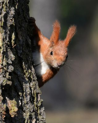 Wiewiórka (Sciurus vulgaris) Nr zdjęcia: 6865