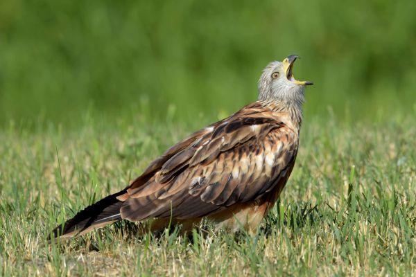 Kania ruda (Milvus milvus) Nr zdjęcia:6879