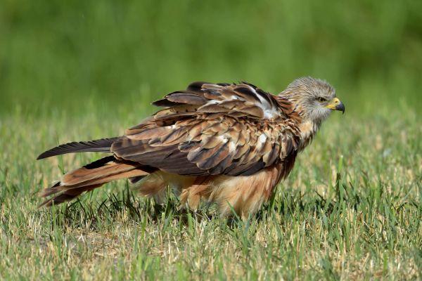 Kania ruda (Milvus milvus) Nr zdjęcia:6935