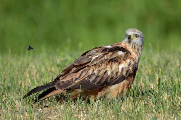 Kania ruda (Milvus milvus) Nr zdjęcia:6958