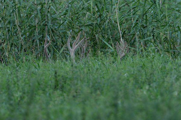 Jeleń szlachetny (Cervuselaphus) Nr zdjęcia: 7091