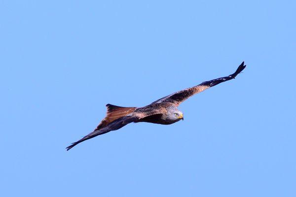 Kania ruda (Milvus milvus) Nr zdjęcia: 7345