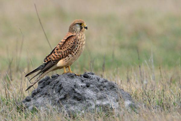 Pustułka (Falco tinnunculus) Nr zdjęcia: 7601