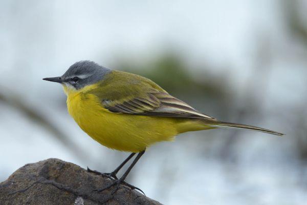 Pliszka Żółta (Motacilla flava) Nr zdjęcia: 9190