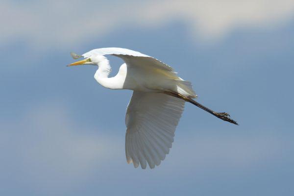 Czapla biała (Casmerodius albus) Nr zdjęcia: 9855